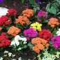 orange KALANCHOE CUTTING FLOWER GARDEN PLANT SEED HOME HOBBY GIFT DECOR SUCCULENT