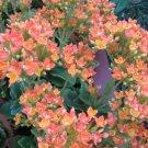 orange KALANCHOE CUTTING FLOWER GARDEN PLANT SEED HOME HOBBY GIFT DECOR SUCCULENT