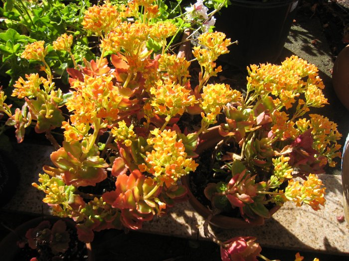 yellow KALANCHOE CUTTING FLOWER GARDEN PLANT SEED HOME HOBBY GIFT DECOR SUCCULENT