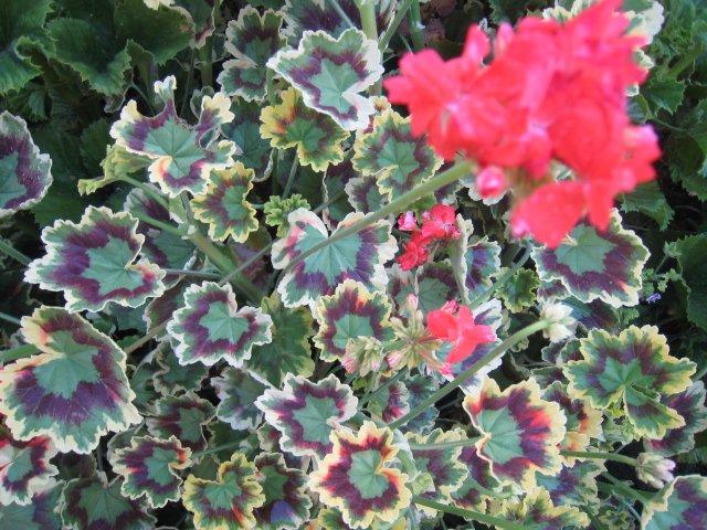 RARE RAINBOW LEAF GERANIUM PINK FLOWER PLANT CUTTING GARDEN HOBBY GARDENING SPRING