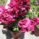 FUCHSIA PINK MARTHA WASHINGTON FLOWER GERANIUM CUTTING PLANT HOME GARDEN BUNCH