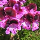 twilight geranium martha washington cutting plant flower spring hobby garden gardening landscape