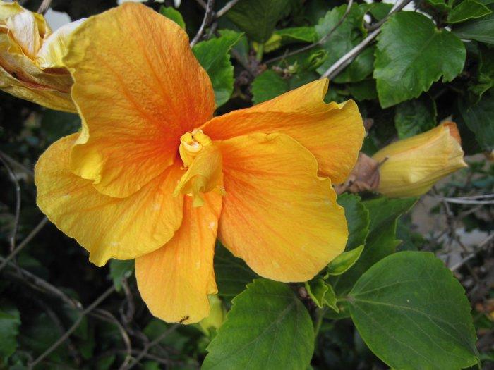 B THICKER TEXTURE HAWAIIAN orange YELLOW HIBISCUS FLOWER PLANT tree GARDEN CUTTING HOME GARDENING