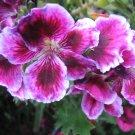 BIG FLOWER MARTHA WASHINGTON GERANIUM CUTTING PLANT HOME GARDEN