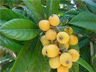like peach pear apple LOQUAT PI PA FRUIT TREE CUTTING GARDEN PLANT HOME