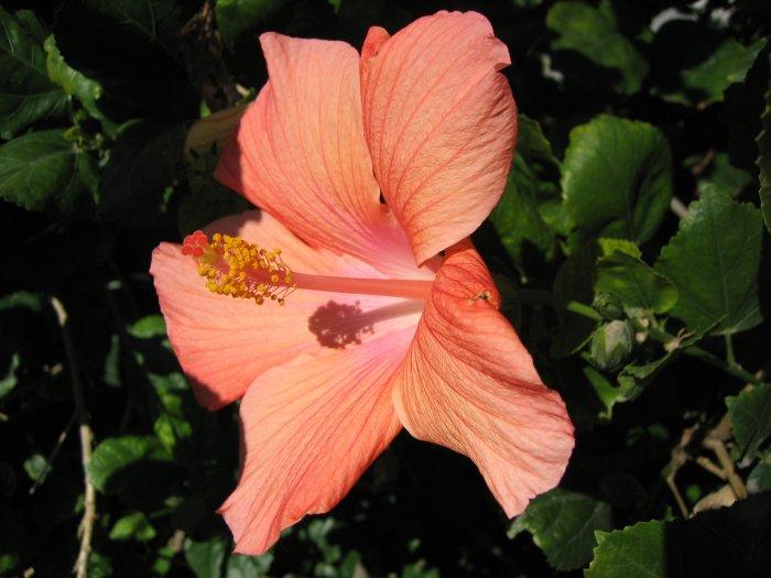A SOFT HAWAIIAN orange YELLOW HIBISCUS FLOWER PLANT tree GARDEN CUTTING HOME GARDENING