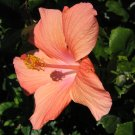 A SOFT HAWAIIAN orange YELLOW HIBISCUS FLOWER PLANT tree GARDEN CUTTING HOME GARDENING