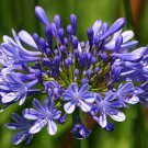 BLUE AGAPANTHUS lily of the nile BULB SEED PLANT GARDEN HOME GARDENING