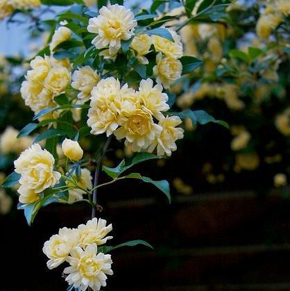 Yellow Rose Thornless Climbing Flower Cutting Plant Garden