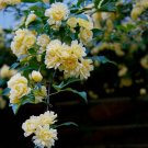 YELLOW ROSE THORNLESS CLIMBING flower CUTTING PLANT GARDEN HOME HOBBY SEED GARDENING