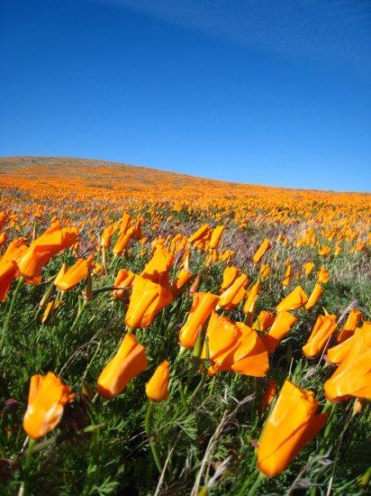 1 Lb California Poppy Bulk Wildflower Seeds orange flower FLOWERS lot 1 lb SEEDS PLANTS GARDEN HOME
