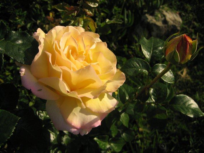 YELLOW PEACH pink PEACE ROSE CUTTING PLANT GARDEN HOME GARDENING