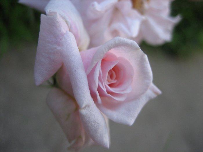 PINK ROSE FLORIBUNDA CLIMBING mini miniature flower CUTTING PLANT GARDEN HOME HOBBY SEED GARDENING