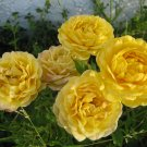 yellow MINI MINIATURE flower ROSES ROSE CUTTING CLUSTER GARDEN HOME PLANT SEED PLANTS