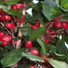 Miracle Fruit Seeds - End your dependence on sugar home garden plant