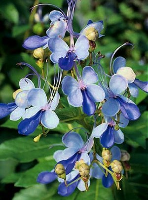 1 Gallon Flower Blue Butterfly Bush Clerodendrum Ugandense