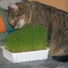 Catgrass Seeds Herb Your Cat Will Thank You 300+ garden family home plant seed vegetable fruit