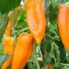 Corno di Toro Giallo Yellow Pepper Seeds 75+ garden family home plant seed vegetable fruit