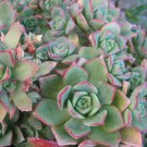 SALE 1-2 INCH ROSE JADE SUCCULENT CACTUS CUTTING PLANT TREE FLOWER home garden crassula hens chicks