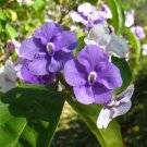 SALE - brunfelsia pauciflora PURPLE lilac SNOW WHITE FLOWER TREE PLANT CUTTING GARDEN HOME