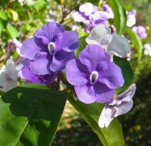 Sale Brunfelsia Pauciflora Purple Lilac Snow White Flower Tree