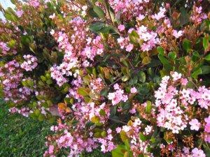Cutting Pink Flower Like Cherry Blossom Bush Plant Garden Leaf Gardening Home Hardy