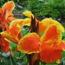 1 bulb garden home plant canna rosemond cole hobby orange yellow flower hawaii