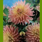 1 bulb dahlia new dimension pink yellow garden home plant hobby flower