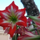 1 bulb amaryllis red white garden home plant hobby flower