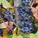 Hardy Old Fashion Purple Concord Grape cutting home garden hobby