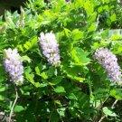 Purple wisteria vine hardy perennial 1 cutting home garden hobby