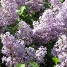 live starter plant Old fashion purple lilac shrub bush hardy perennial home garden hobby