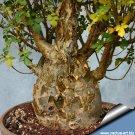 Bursera fagaroides frankincense Bonsai Baja Elephant Tree succulent cactus plant home hobby garden