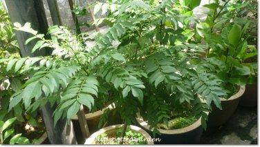 Rare Curry Leaf Tree Plant Herb! Murraya Koenigii home garden cooking hobby