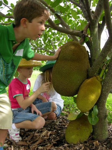 jackfruit tropical yellow fruit lot 3 seed plant home garden hobby collectible
