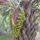 Pindo Palm (Butia capitata) 25 seeds
