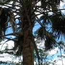 Sabal domingensis (Dominican Hat Palm)50 seeds