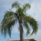 Syagrus romanzoffiana (Queen Palm) 10 seeds
