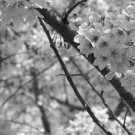 Sakura Shade