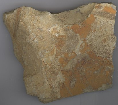 Maple Leaves Fossil-NOT FOR SALE