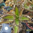 5 PLANT OF LIFE ALLIGATOR PLANT, Snake Succulent Cacti