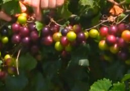 2 Muscadine Grape Vine plant, Male & Female