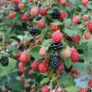 4 Blackberry Bushes live plants, Thornless