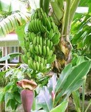 Banana Tree Plant 3 Gallon, Healthy Delicious Bananas