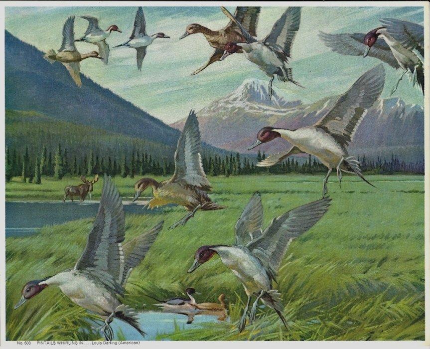 Vintage Print Pintails Whirling In Louis Darling Geese 8x10