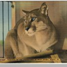 ST. PETERSBURGH, FLORIDA/FL POSTCARD, Panther/Ranch