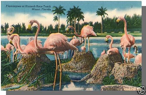MIAMI, FLORIDA/FL POSTCARD, Hialeah Track/Flamingoes