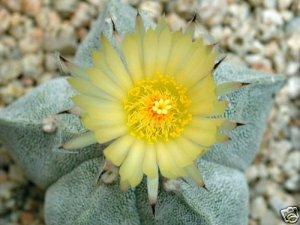 1000 ASTROPHYTUM MYRIOSTIGMA  Bishop's Cap /Miter seeds