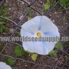 2g FLYING SAUCERS Morning Glory seeds- Ipomoea Tricolor seeds