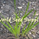 100 ACORUS CALAMUS Sweet Flag - American variety -seeds